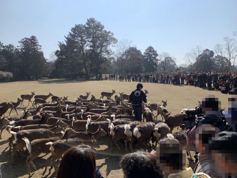奈良公園の鹿寄せ