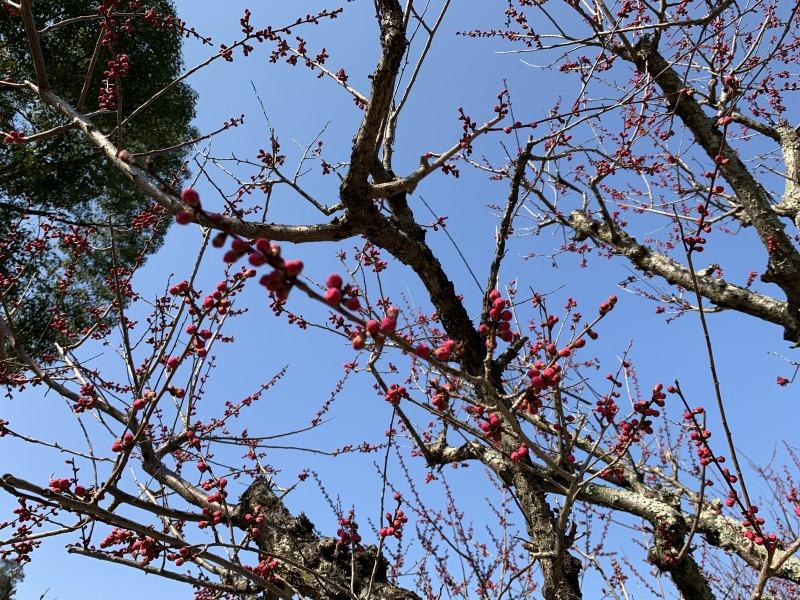 片岡梅林の蕾の紅梅