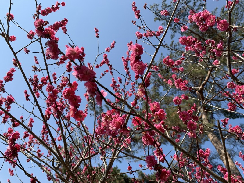 片岡梅林の満開の紅梅
