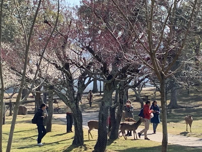 鹿と梅の片岡梅林