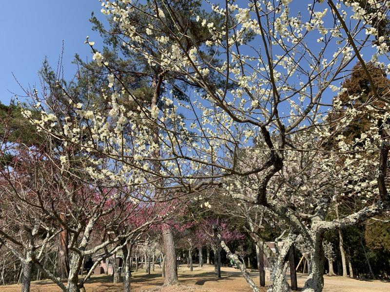 片岡梅林の満開の白梅