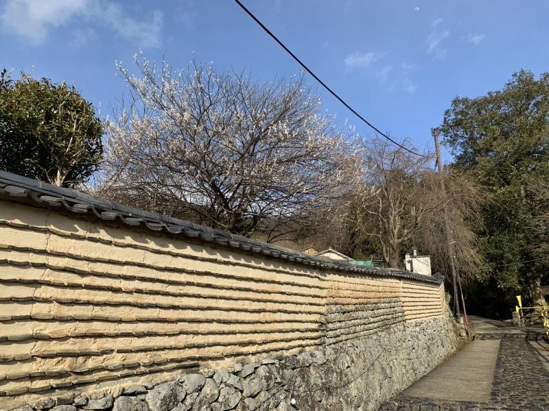 築地塀の向こうに見える梅の花