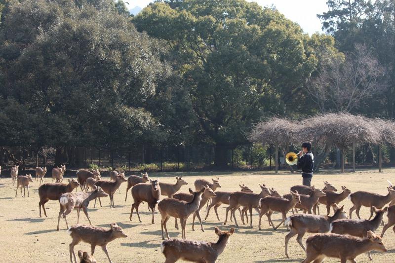 鹿寄せはホルンの音色で鹿を集めます。