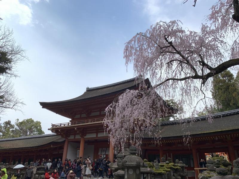 春日大社の桜(南門)