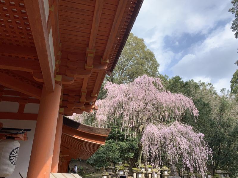 春日大社の南門前のしだれ桜