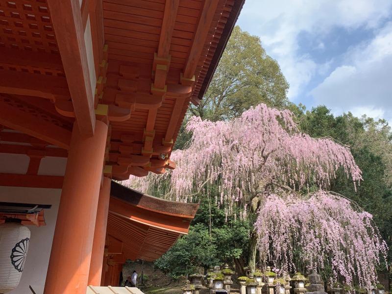 春日大社の枝垂れ桜