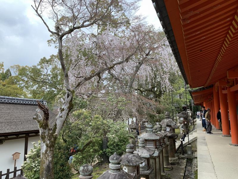 春日大社の西回廊の桜