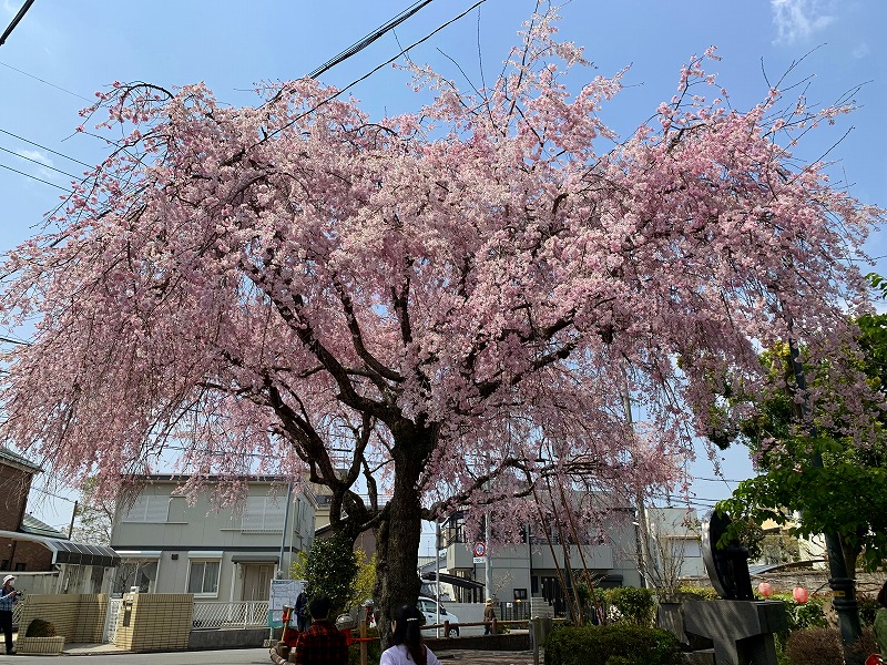 大仏鉄道記念公園の桜