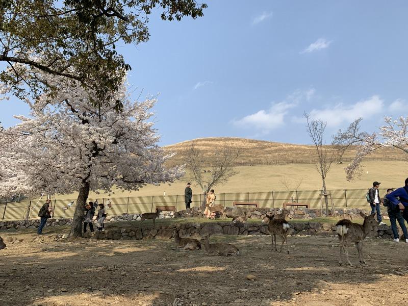 若草山の麓の鹿と桜