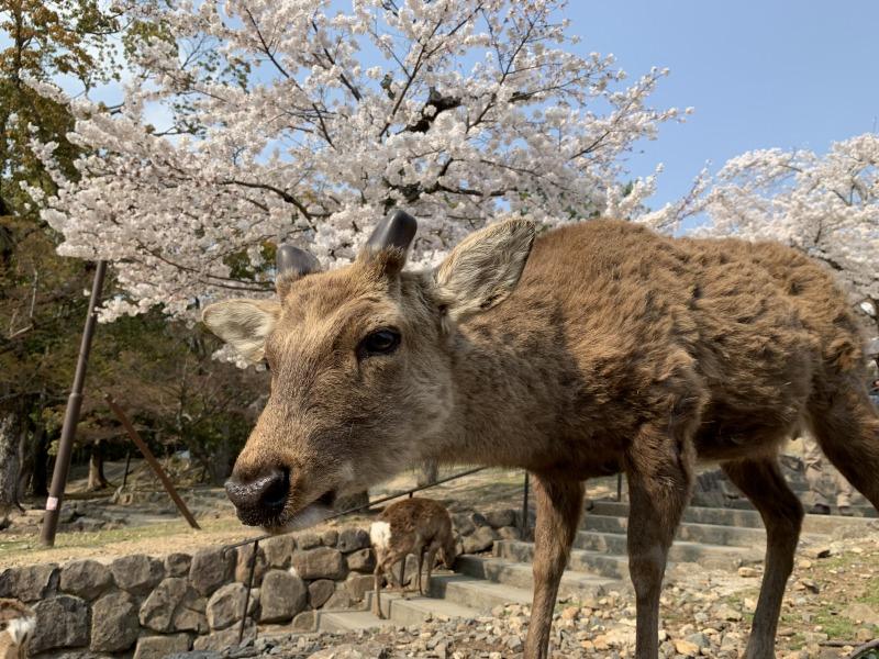 若草山の鹿と桜