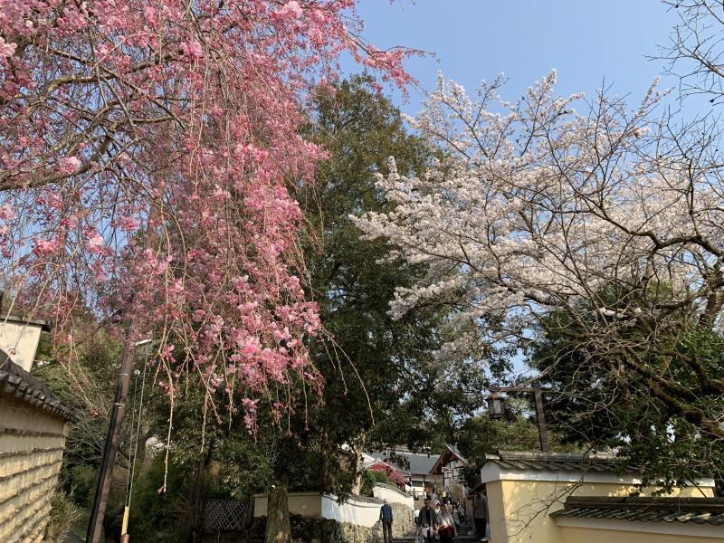二月堂裏参道の桜