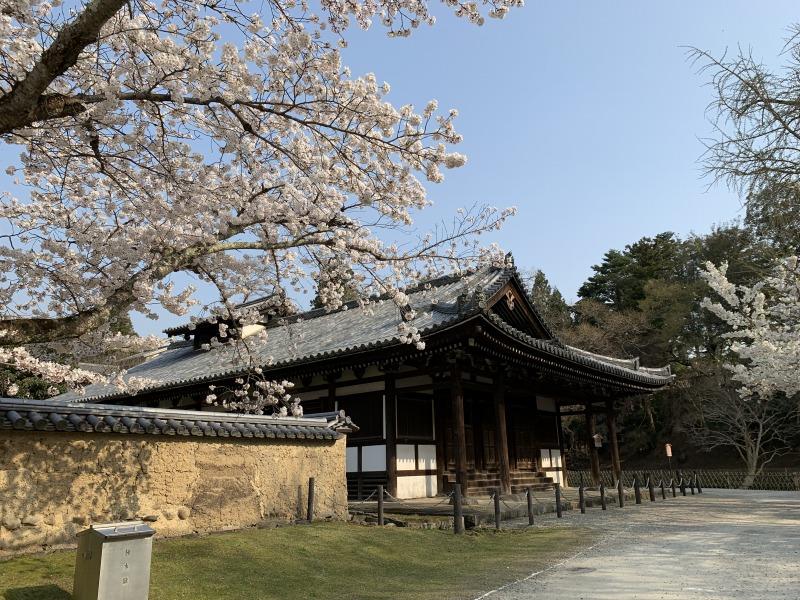 大湯屋の桜