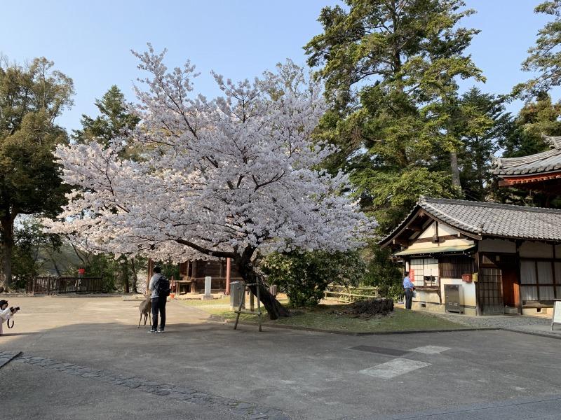 念仏堂の前の桜ソメイヨシノ