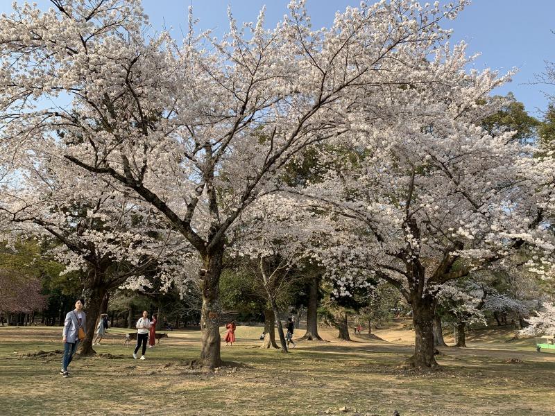 春日野園地の桜