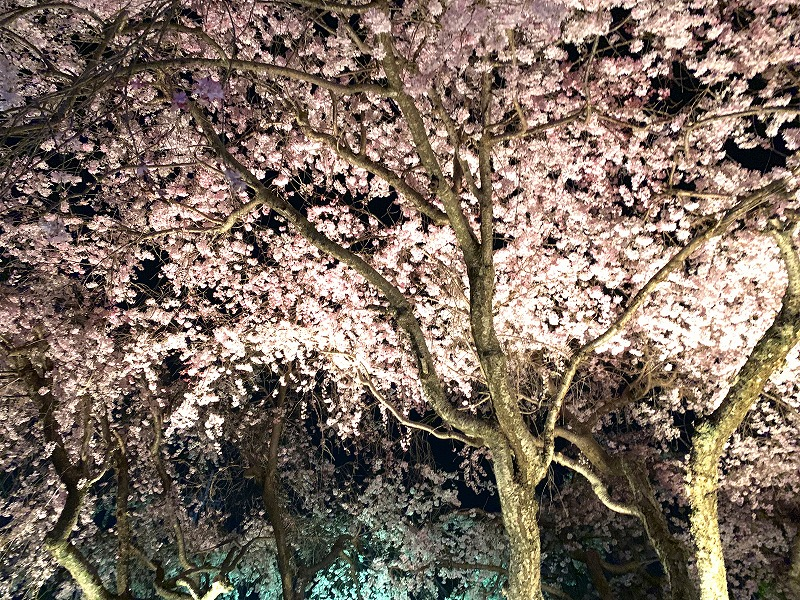 大仏鉄道記念公園の夜桜