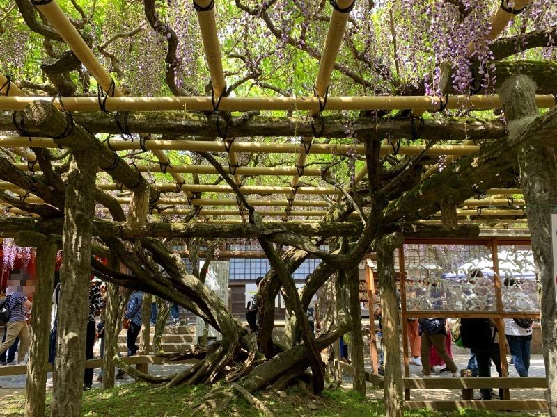 樹齢800年春日大社の砂ずりの藤