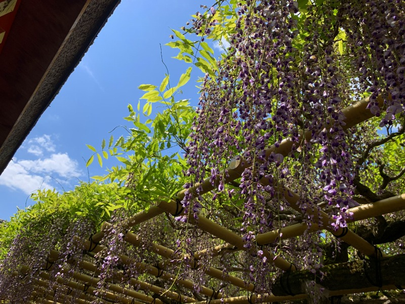 青空に映える春日大社の砂ずりの藤
