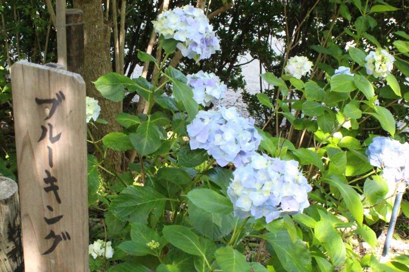 矢田寺のブルーキング