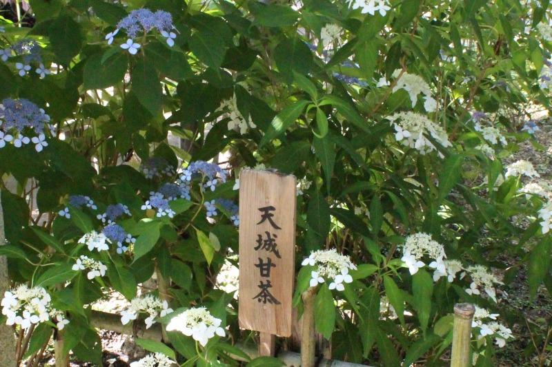 矢田寺の天城甘茶